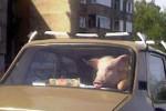 Românul, Dacia şi Porcul. :))