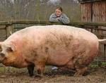 Un român avea un porc aşa de mare că a apelat la mafie pentru a-l omorî :))